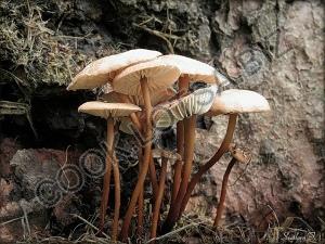Чесночный гриб